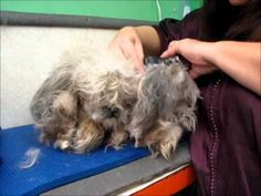 Clipping matted dog. This is one of the best videos I've seen on grooming a heavily matted dog.