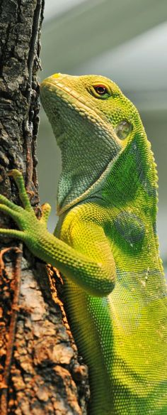 Iguanas are cute don't you think
