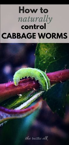 Cabbage worms are the bane of my existence. They've destroyed my cole crops nearly every year until I finally found some natural ways to get rid of cabbage worms. These 6 completely natural methods will help control the worms and save your crops for a better harvest. #gardening #organic