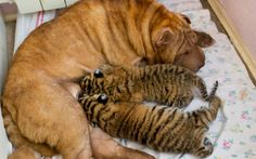 """""""Two baby tigers whose mother refused to feed them found an unusual wet nurse, a wrinkled, sand-coloured Shar Pei dog named Cleopatra. The cubs were born in late May in a zoo at the Russian Black Sea resort of Sochi.""""  Photo by Igor Okunin  [via Telegraph.co.uk]"""