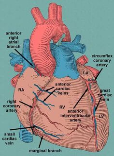 Heart Anatomy ♥ Cardiology is my favorite operations/procedures to watch♥ Medical Coding, Medical Science, Medical Anatomy, Cardiac Anatomy, Nursing School Notes, Medical School, Heart Anatomy, Cardiac Nursing, Human Anatomy And Physiology