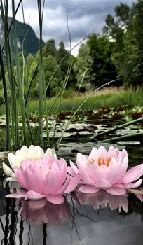 The perfect Flores Flowers Animated GIF for your conversation. Discover and Share the best GIFs on Tenor. Water Flowers, Water Plants, Water Garden, Flowers Gif, Amazing Flowers, Beautiful Flowers, Deco Floral, Lily Pond, Beautiful Gardens