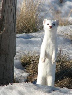 Long-tailed Weasel by jChip