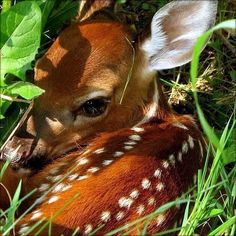 A newborn, spotted deer hiding in the underbrush.Bambi in real life Such a beautiful photo! Nature Animals, Animals And Pets, Funny Animals, Funny Cats, Beautiful Creatures, Animals Beautiful, Beautiful Eyes, Tier Fotos, Cute Little Animals