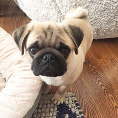 Hi, my name is Larry and I'm a peanut butter addict.  #pugs #pug #puppy #puppies #pugsnotdrugs #cute #dog #cupcakepugs #pugsofIG #thetomcoteshow #pugloversclub #pugbasement #qtpugs #worldofpug #babypuggies #frankthepughero #mopsi #pugnation #pugloversofinsta #mops #hoboken #nj #borislovesfriends #pupperpic #radhound #qtpugs #pugpuppy #pugnation #puglove