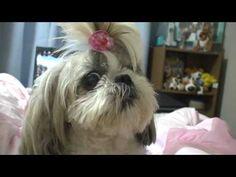Adorable Talking Shih Tzu | Polite Dog