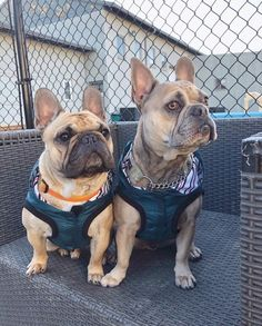 Twinning 👯 Are you looking for a new jacket? Here's 5 reasons to love this one: ✢ Sleeveless ✢ Lightweight ✢ Water repellent ✢ Bamboo lining ✢ Tummy coverage . 📸: @nixie.n.bueller . . . . . #thesharperbarker #dogjackets #luxurydog #shopsmall #dogaccessories #luxurylifestyle #petbrand #dogbrand #fourleggedfashion #doglife #furbaby #dogstagram #puppylife #dailydog #madeinyvr #excellent_puppies #dogparents #adventuredog #mykidshavepaws #puppytales #dailybarker #ruffpost #bestwoof #dailyhounds… Dog Branding, Dog Hoodie, Dog Accessories, Four Legged, Dog Life, Best Dogs, Fur Babies, French Bulldog, Bamboo
