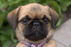 See a list and pictures of Pug designer breeds Pug Mixed Breeds, Dog Breeds, Shih Tzu Mix, Shih Tzus, Pug Love, I Love Dogs, Chug Puppies, Pug Zu, Miniature Pinscher