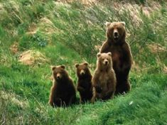 Grizzly bear family for a walk in the Rocky Mountains Bear Songs, The Bear Family, Mother Bears, Rare Animals, Wild Animals, Wild Nature, Animal Wallpaper, Woodland Creatures, Animal Kingdom