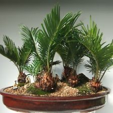 Beautiful Cycas Bonsai Friendly Palm Tree - 5 Fresh Seeds