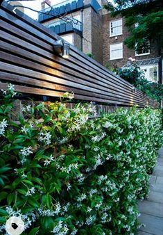 Evergreen Garden, Evergreen Climbers, Evergreen Clematis, Evergreen Climbing Plants, Evergreen Trees, Flowering Vines, Fence Lighting, Lighting Ideas, Walled Garden