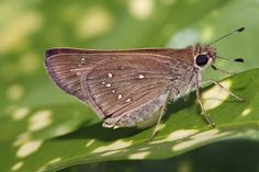 Florida declares two butterfly species extinct as pollinator crisis worsens » Focusing on Wildlife