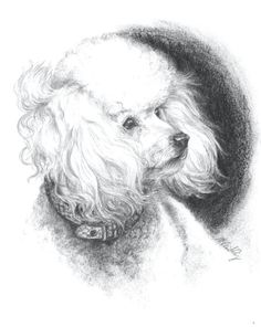 Beautiful sketch of a Poodle