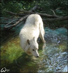 White wolf wading (say that 5 times fast)