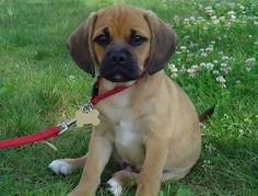 OMG it's so cute a Puggle part Pug and part Beagle