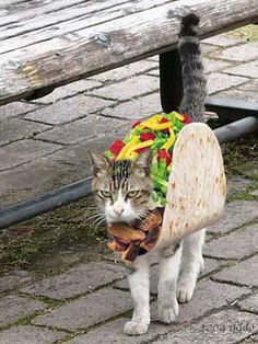 angry taco cat gee I wonder why? and to make things worse. outside in public! (BTW, taco cat spelled backwards is. Pet Halloween Costumes, Pet Costumes, Taco Costume, Happy Halloween, Woman Costumes, Halloween 2013, Couple Costumes, Pirate Costumes, Group Costumes