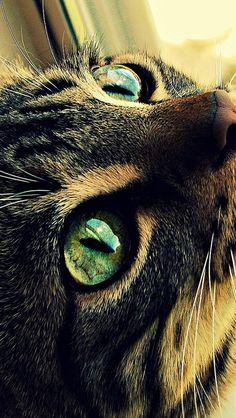 cat_eyes_face_green-eyed_hair_51261_640x1136 | Flickr - Photo Sharing!