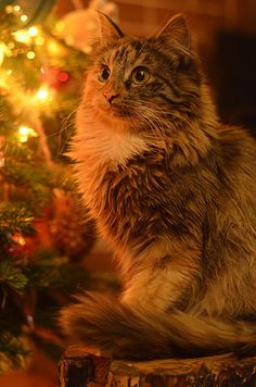 Beautiful Christmas Cat  For  more Christmas Cats, visit https://www.facebook.com/funholidaycats