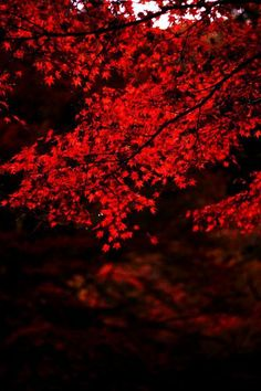 Red Leaves, Kyoto, Japan  photo via jennifer
