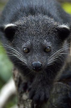 The binturong (Arctictis binturong), also known as bearcat, is a viverrid native to South and Southeast Asia.