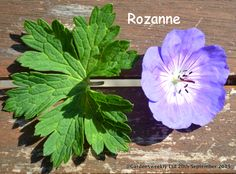 a blurring between the white and the outer blue/purple rim makes Rozanne stand alone colour wise