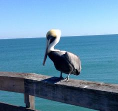 Pelican at Cocoa Beach Pier