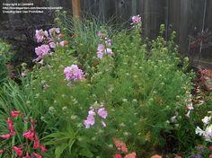 PlantFiles Pictures: Malva, Pink Musk Mallow 'Rosea' (Malva moschata) by Water Wise, Shrubs, Perennials, Bloom, Landscape, Garden, Flowers, Pink, September