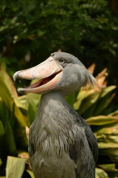 shoebill - SUCH A FUNNY LITTLE FELLOW!! - JUST MADE ME LAUGH!! (Out loud!!)