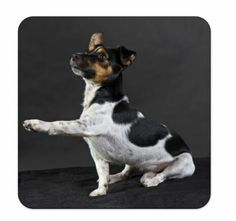 Untersetzer Jack Russel Terrier Jack Russel, Terrier, Dogs, Animals, Coaster, Animales, Animaux, Pet Dogs, Doggies