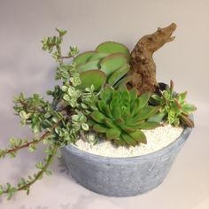 """Live succulent arrangement with coral chips, river rocks and a large driftwood. Designed and arranged in large round concrete container.Size 12""""w x 12""""d x 10"""" h"""