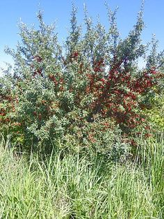"Silver Buffaloberry (Shepherdia argentea):  ""a native species of western Nebraska. This thorny, thicket-forming, tree-like shrub is drought tolerant and adaptable to alkaline soils. The persistent, fleshy berries provide food for birds during the winter. The tart berries also are used in jellies.""  ""Height at Full Maturity: 10-12' """