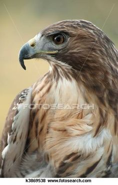 Red tailed hawk Images and Stock Photos. 405 red tailed hawk photography and royalty free pictures available to download from over 100 stock photo companies. (Page 3)