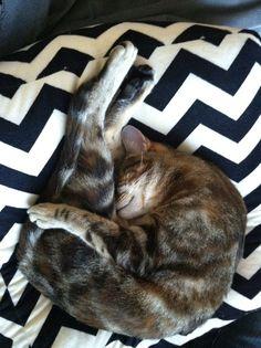 Yoga cat. Emmy.