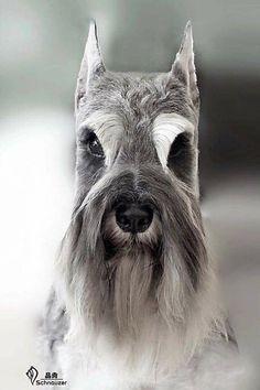 Schnauzer #DogsGrooming