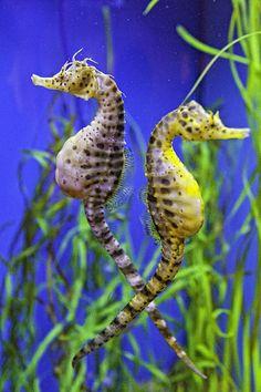 Seahorse Argument Canvas Print / Canvas Art by Fred J Lord Dragon Seahorse, Beautiful Sea Creatures, Sea Dragon, Deep Blue Sea, Ocean Creatures, Beautiful Fish, Sea Monsters, Ocean Life, Marine Biology