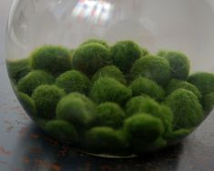 Enter the marimo ball into terrariumscaping.