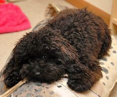 Aww....chocolate toy poodle. Look at those little eyes.