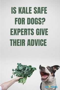 There's a bit of debate around kale for dogs.   In 2015, an article came out suggesting cruciferous vegetables may be hyperaccumulators of toxic heavy metals like thallium.  Kale was included in this category.  The source was believed to be the soil it was grown in. On top of concerns that cruciferous vegetables can lower thyroid levels.  We asked Dr Jean Dodds and other holistic vets what they thought about sharing kale with your dog.  Here's why they felt kale should be in your dog's bowl: