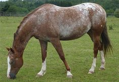 Marble or Varnish Roan ~ Appys that begin to blur or fade as they age. Animals often retain their base color over bony parts.