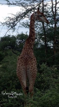Photo by helenamarais More Images, Nature Reserve, Giraffe, Wildlife, Community, World, Pictures, Animals, Photos