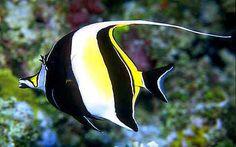 Zanclus cornutus, Photo Credit: FishWise Professional/Minha Autoria, http://eol.org/data_objects/8614386