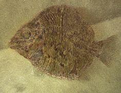 Discoserra Mississippian Bear Gulch Fish Fossil;  Class Actinoptergyii, Order Guildayichthyformes, Family Guildayichthyidae;  Geological Time: Mississippian (~320 m.y.a.);  Size: Fish fossil is 60 mm long;  Fossil Site: Bear Gulch Limestone, Heath Shale Formation, Fergus County, Montana