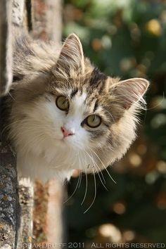 Gatto Toscano(Gatto-Italian for cat)