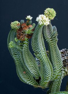 A seemingly impossible plant: Crassula 'Buddha's Temple.'
