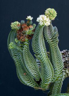 Succulent Plant Information: Crassula 'Buddha's Temple'