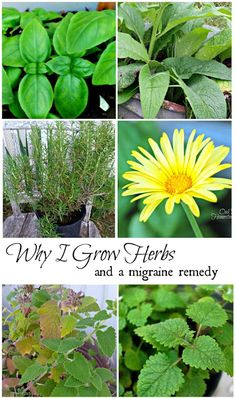 Why I grow herbs, plus a migraine remedy.