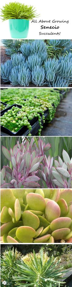Senecio succulents include the whimsical string of pearls plant and blue chalk sticks plants. Learn all about growing these fun varieties! :)