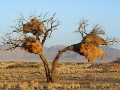 Pájaro tejedor africano
