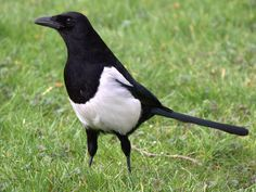 Magpies currently harbour a reputation as killers of 'innocent' nestlings. But is it a reputation that is deserved? Or is there more to the magpie than meets the eye. Exeter England, Eurasian Magpie, Pie Bavarde, List Of Birds, Bird Identification, World Birds, Jackdaw, Spirit Animal, Country Life