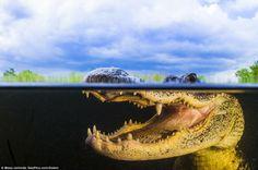 Faccia a faccia con un alligatore – Parco Nazionale di Everglades, Florida   4Gaia – Madre Terra
